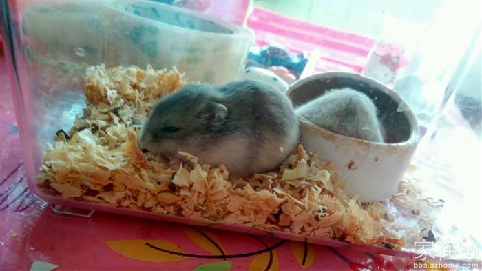 家有小仓鼠宝宝,一共六只,四公两母,送