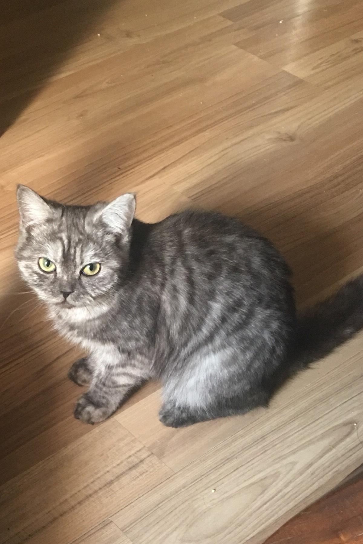 英短猫咪寻找新家