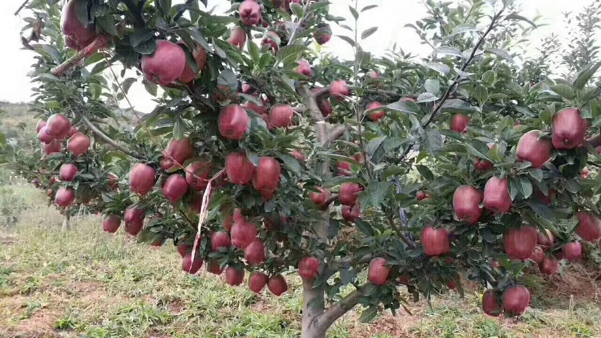 甘肃礼县苹果